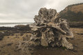 Driftwood Stump on Rocky Beach Royalty Free Stock Photo