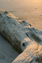 Driftwood at sunset Royalty Free Stock Photo