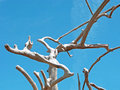 Driftwood Tree  Form Against Blue Sky. Royalty Free Stock Photo