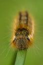Drinker moth caterpillar euthrix potatoria head on macro shot of a on a grass stem Stock Photos