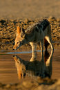 Drinking black-backed Jackal Royalty Free Stock Photography