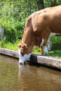 Drinking cow at the pond netherlands Royalty Free Stock Photography