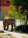 Drinking elephant in african savanna Royalty Free Stock Photo