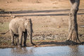 A drinking Elephant in the Kruger. Royalty Free Stock Photo