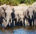Drinking elephants herd of at watering chobe national park botswana Royalty Free Stock Image