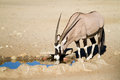 Drinking gemsbok Stock Image