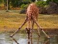 Drinking giraffe Royalty Free Stock Photo