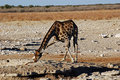 Drinking Giraffe - Etosha National Park Royalty Free Stock Image