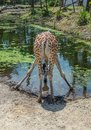 Drinking giraffe. Rear view of giraffe at waterhole Royalty Free Stock Photo