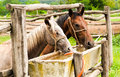 Drinking horses Royalty Free Stock Photo