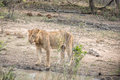 Drinking Lion in the Kruger National Park, South Africa. Royalty Free Stock Photo