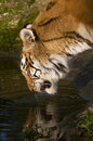 Drinking tigress indian with reflection Royalty Free Stock Photos
