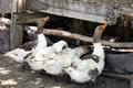 Drinking trough for geese made from old tire in romanian banat Stock Images