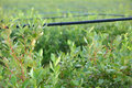 Drip irrigation system blueberry bushes water saving being used in a field Royalty Free Stock Image