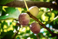 Dripping ripe fig on the tree, soft focus