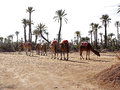 Dromedaries in the west sahara several Stock Photography