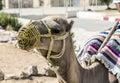Dromedary arabian camel or also called a one humped camel in the sahara desert douz tunisia Royalty Free Stock Photos