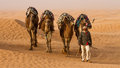 Dromedary camel arrieve at an oasis Stock Photography