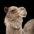 Dromedary camel ii profile portrait of a against a black background Stock Images