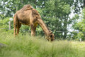 Dromedary camel photo of a grazing in a field of grass also called the arabian or the indian Stock Photos