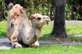 Dromedary camel photographed in zoo miami south florida wild dromedaries are now extinct being domesticated by man Stock Photos