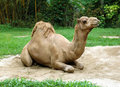Dromedary camel sit on sand Royalty Free Stock Photography