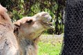 Dromedary camel smiling photographed in zoo miami south florida wild dromedaries are now extinct being domesticated by man Royalty Free Stock Photos
