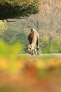 Dromedary camel standing on the grass in autumn Royalty Free Stock Photography