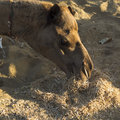 Dromedary is eating hay on the sand Royalty Free Stock Images