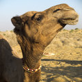 Dromedary head close up of a Stock Photo