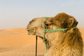 Dromedary in Sahara desert Stock Photography