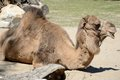 Dromedary single lying on ground Royalty Free Stock Photography