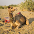 Dromedary is sitting on the sand after a work day Stock Photography