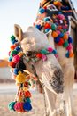 stock image of  Dromedary waiting for guests