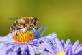 Drone fly on aster flower Royalty Free Stock Photo