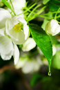 Drop on the blossom. Royalty Free Stock Images