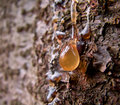 Pine resin drop Royalty Free Stock Photo
