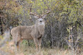Drop tine whitetail buck in full rut Royalty Free Stock Photo