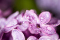 A drop of water on the flowers of lilac Royalty Free Stock Photo
