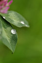 Droplet on Clover Stock Photos