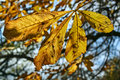 Dropping maple leaf during autumn Royalty Free Stock Photo
