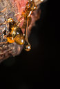 drops of amber pitch flow down on tree Royalty Free Stock Photo