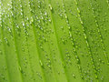 Drops on banana leaf Royalty Free Stock Images