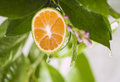 Drops lemon juice running down lemon tree Royalty Free Stock Images