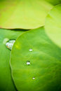 Drops of water on a lotus leaf rolling green Stock Photography