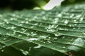 Drops of water rolling over a banana leaf Royalty Free Stock Photo