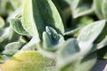 Drops of water on Stachys plant closeup Royalty Free Stock Photo