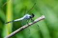 Dropwing dragonfly on dry stick a blue holding onto a dead Stock Photos
