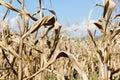 Drought corn field Royalty Free Stock Photo