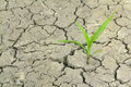 Drought corn germ breaks through the dry land Royalty Free Stock Image